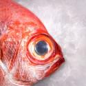 Palometa roja